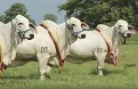 genética Brahman gris puro, Semillas de la Vittoriana, Ganadería La Vittoriana, embriones Brahman puro