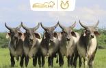subasta de la ganadería Río Grande, comercialización de genética, Subastar, subasta en Bosconia, subasta en Cesar, Ganaderos del Cesar
