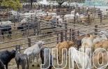 Eventos ganaderos junio 2021, curso virtuales ganadería, Eventos ganaderos, Ferias Ganaderas, ferias ganaderas colombia, Eventos ganaderos 2021, simposio internacional calidad de leche, simposio empresarios lecheros 2021, SEL 2021, ganado bovino, ganadería bovina, ganaderos, ganaderos colombia, ganado, vacas, vacas Colombia, bovinos, Ganadería, ganadería colombia, noticias ganaderas, noticias ganaderas colombia, CONtexto ganadero, contextoganadero