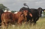 Remate de ganado en Córdoba