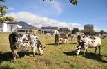 herpes bovino