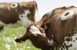 ADN del estomago de la vaca, producción de leche y carne, rumiante, ganadería colombiana, noticias ganaderas, noticias ganaderas Colombia, CONtexto ganadero