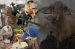 Historia de la fiebre aftosa en Colombia, foco aftosa y brote aftosa, diferencia foco brote fiebre aftosa, historia fiebre aftosa Colombia, fiebre aftosa colombia, Fedegán ciclos de vacunación, fedegan, FNG, fedegán colombia, fiebre aftosa fedegán, Fedegán FNG, CONtexto ganadero, ganaderos colombia, noticias ganaderas colombia