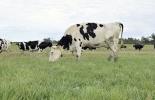 Vacas primíparas, cuidados vacas prímiparas, cuidados vacas primer parto, vacas de primer parto, novillas de primer parto, vacas primerizas, problemas de las vacas primerizas, caída en la producción de las vacas de primer parto, ganadería colombia, contexto ganadero, noticias ganaderas Colombia