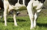 Artritis séptica en bovinos, características de la artritis séptica en bovinos, tipos de artritis en bovinos, artritis séptica en terneros, inflamación de articulaciones en bovinos, Artritis en bovinos, lesiones en articulaciones en bovinos, bovinos echados, bovinos con dificultad para desplazarse, manejo animal, CONtexto ganadero, ganaderos colombia, noticias ganaderas colombia
