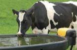 Calidad y cantidad de agua que requieren los bovinos, agua, nutrición, Ganadería, ganadería colombiana, noticias ganaderas, noticias ganaderas Colombia, CONtexto ganadero