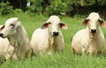 Detección del celo, errores en la detección del celo, detección de estros, fertilidad de la vaca, detección de estros reduce la fertilidad de las vacas, Ganadería, ganadería colombiana, noticias ganaderas, noticias ganaderas Colombia, CONtexto ganadero