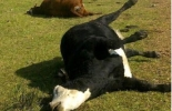 Fedegán, urea, intoxicación por urea, Alcalosis, tratamiento, contexto ganadero, noticias ganaderas, vacas