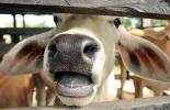 Bovinos presienten los temblores previamente, bovinos sientes los ruidos de la tierra, bovinos alertan cuando se acerca un temblor, bovinos sienten el temblor con crudeza, bovinos se quedan inmóviles y braman, el bovino brama inusualmente, CONtexto ganadero, noticias de ganadería colombiana.
