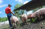Ganadería, ganadería colombia, noticias ganaderas, noticias ganaderas colombia, CONtexto ganadero, cerdos, alimentación cerdos, frijol caupí, comida para cerdos, alimento para cerdos, cerdos, universidad nacional, agencia de noticias un,