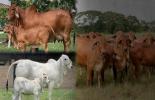 Brahman gris o rojo, opinión de ganaderos, gris rinde más, gris tiene 100 años de mejoramiento genético, rojo avanza rápido, cruces de gris con rojo, gris otorga genética y vigor al rojo, talla baja y mayor volumen, precios de brahman rojo son superiores, CONtexto ganadero, noticias de ganadería colombiana.