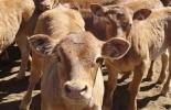 comportamiento del ternero, manejo del ternero, manejo animal, sanidad del ternero, alimentación del ternero