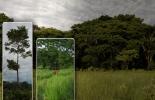 Árboles, forrajes, follajes, madera, alta calidad, alimento, suplemento alimenticio, bovinos, ganaderos, Colombia, regiones, departamentos, piso térmico, importancia, preservar árboles, utilidad árboles, silvopastoreo, práctica ganadera, sombra, suelos, preservar ríos, cuencas, aires, nubes, animales, seres humanos, producir oxígeno, capturar CO2, beneficios medio ambiente, Matarratón o Gliricidia sepium, Leucaena o Leucaena leucocephala, Guacima, guácimo o Guazuma ulmifolia, Botón de oro o Thitonia Diversi