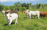 importancia de la ganadería en Colombia, ganadería de Colombia, hato bovino, producción ganadero en colombia, ganaderos de colombia