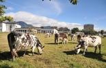 Ganadería, ganadería colombia, noticias ganaderas, noticias ganaderas colombia, CONtexto ganadero, George Oneiber Jaime, magíster en Producción Animal de la Universidad Nacional, vacas lecheras, subproducto del papel, calidad de la leche, Centro Agropecuario Marengo,