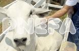 aftosa, Ciclo de Vacunación, fedegan, FNG, ICA, Minagricultura, Ganadería, bovinos, ganadería colombia, Colombia, CONtexto ganadero