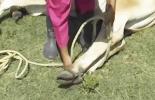 sujeción de bovinos, métodos de sujeción de bovinos, manejo animal, bretes para bovinos, tranquilizantes para bovinos, Bienestar Animal, manejo de bovinos, sujeción psicológica, disminución sensorial, empleo de pasillos y barreras para el confinamiento, uso de instrumentos y fuerza física, sedación o inmovilización química, CONtexto ganadero, ganaderos colombia, noticias ganaderas colombia