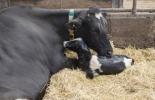 Brucelosis Bovina, enfermedad bovina, brucelosis  en Colombia, cómo prevenir la brucelosis, vacunación contra la brucelosis, diagnóstico de la brucelosis