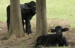 Bucerros, Cría de bucerros, ventajas cría bucerros, Ganadería Bufalina en Colombia, Fonda Bufalera Gibraltar, Búfalos en Colombia, Razas de búfalos en Colombia, bucerros búfalos, cría de búfalos, Historia de los búfalos en Colombia, alta producción lechera de búfalos, CONtexto ganadero, ganaderos colombia, noticias ganaderas Colombia