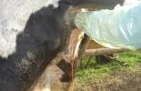enfermedades posparto en vacas, enfermedades uterinas del posparto, enfermedades  ováricas del posparto, manejo de la vaca posparto, suplementación del vaca preparto, vaca en gestación