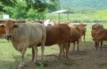 ganado criollo, asocriollo, características genéticas del ganado criollo, adaptación del ganado criollo