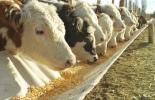 Procesamiento de granos, Grano seco, grano húmedo, Efectos procesamiento granos, Tipos de procesamiento de granos, grano seco ganadería, grano húmedo ganadería, tipos de grano seco para ganadería, tipos de grano húmedo para ganadería, valor nutricional grano ganadería, granos ganadería, nutrición bovina, alimento para el ganado, grano vacas, alternativas de dietas para vacas lecheras, molienda seca, molienda húmeda, CONtexto ganadero, ganadería colombia, noticias ganaderas colombia