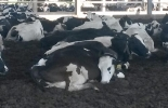 sueño de las vacas, descanso de las vacas, posición en la que duermen las vacas, descaso y rumia de las vacas