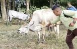 control integrado de parásitos en bovinos, parásitos que afectan el ganado, antiparasitarios para el ganado, aplicación de productos antiparasitarios