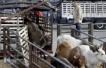 Desembarque de bovinos, arribo de bovinos, llegada de los bovinos, desembarque vacas, manejo ganado, desembarque ganado, manejo de bovinos, Diseño corrales bovinos conducta animal, Diseño corrales bovinos, Diseño corrales bovinos manejo de ganado, manejo de ganado, diseño corrales para ganado, diseño potreros para ganado, diseño corrales bovinos basado en conducta animal, CONtexto ganadero, ganaderos colombia, noticias ganaderas colombia