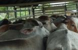 Seguro Ganadero, Segugan, amparo de ganado, hurto calificado, muerte accidental, movilización de ganado, camión de 20 animales, CONtexto Ganadero, noticias de ganadería colombiana.