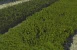 compra de material vegetal, arreglos silvopastoriles, envase o bolsa de empaque de las plantas, examen radicular de la planta, examen de la planta en la parte aérea