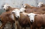 ganadería, ganadería colombia, noticias ganaderas, noticias ganaderas colombia, contexto ganadero, ovinos, calidad de la carne ovina, ovinos colombia, unal, agencia de noticias un, investigación ovinos, carne de ovino,