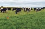 pastoreo, Silvopastoriles, ramoneo, ganadería sostenible, sistemas de pastoreo, sistemas de pastoreo en ganadería, sistemas de pastoreo en ganadería sostenible, alimentación bovina
