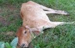 día mundial contra la rabia, rabia en bovinos, vacunación contra la rabia, campaña de vacunación. Fedegán, FNG