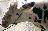 tuberculosis, tuberculosis bovina, tuberculosis bovina en Colombia, como prevenir la tuberculosis, enfermedades bovinas