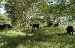 beneficios de los árboles dispersos en potrero, árboles dispersos en potrero, arboles en ganadería, Ganadería Sostenible