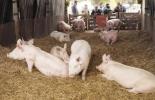 Materiales camas profundas cerdos, camas blandas cerdos, materiales, Pro y contras de las camas profundas en la porcicultura, camas profundas para cerdos, bienestar, cascarilla de arroz, madera, tejas, compost orgánico, frío, humedad, cama seca, CONtexto ganadero, ganaderos Colombia, noticias ganaderas Colombia