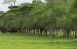 cercas vivas, cercas vivas en ganadería, beneficios de las cercas vivas, beneficios ambientales de las cercas vivas, beneficios para la finca de las cercas vivas