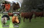 raza berrenda, bovino berrenda, razas bovinas conquistadoras en Colombia, razas bovinas conquistadoras, razas bovinas fundadoras, llegada de los bovinos a América, españoles trajeron los bovinos a América, primeros bovinos en América, razas europeas en América, ganadería, ganadería colombia, noticias ganaderas, noticias ganaderas colombia, contexto ganadero, Raza Gallega, Raza Cacereña, Raza Retinta, bovino gallego, bovino cacereño, bovino retinta,