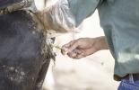 Resincronización en vacas, métodos para resincronizar vacas, resincronización bovinos, Protocolo sincronización celos, protocolo sincronización vacas, protocolo sincronización, inseminación artificial en vacas, mejorar índice de preñez, mejorar días abiertos en vacas, protocolos de sincronización de celos en Colombia, CONtexto ganadero, ganaderos Colombia, noticias ganaderas Colombia