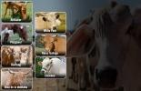razas bovinas, razas bovinas raras, razas bovinas poco conocidas, razas bovinas del mundo,
