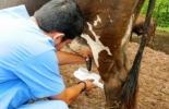 evaluación de la ubre, forma de la ubre, ligamentos de la ubre, pezones de la vaca