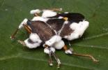 control de plagas, plagas en sistemas silvopastoriles, 2 microorganismos patógenos para el control de plagas en ganadería, manejo de plagas