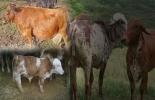 Defectos hereditarios en bovinos, prevención de defectos congénitos, Malformaciones congénitas en bovinos, enfermedades congénitas en bovinos, malformaciones en vacas, malformaciones en bovinos Colombia, CONtexto ganadero, ganaderos colombia, noticias ganaderas colombia