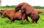 Manejo reproductivo y sanitario del toro