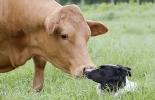 comportamiento de las vacas, vacas con otras especies, vacas con perros, vacas con gatos, vacas con otros animales, etología vacas, comportamiento de las vacas con otras especies, cómo se comportan las vacas con otras especies, coronavirus, COVID-19, cuarentena, Ganadería, ganadería colombia, noticias ganaderas, noticias ganaderas colombia, CONtexto ganadero