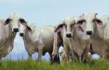 Ganadería, ganadería colombia, noticias ganaderas, noticias ganaderas colombia, CONtexto ganadero, andrología, examen andrológico, examen evaluación reproductiva, infertilidad en toros, toro esteril, Reproducción toros, reproducción vacas, monta de toros, monta vacas, proceso espermatogénesis en toros, descanso reproductivo de los toros, diágnostico infertilidad de toros, ganaderos, ganaderos colombia.