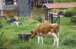 crianza, terneras, vacas, leche, negocio ganadero, productividad, calostro, ordeño, Asojersey, preñez, ganancia de peso, reposición, hato, ganadería, ganadería colombia, noticias ganaderas colombia,contexto ganadero