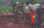 Ciclo I ha logrado vacunar contra aftosa 27,3 millones de bovinos, conservar estatus sanitario, exigencia del comercio, oportunidades de comercio exterior, campaña sanitaria, Ciclo I de 2020, hato bovino colombiano, vacunación, mayores logros en Brucela, Guainía el mayor porcentaje, inmunización contra Brucelosis, inmunización contra rabia, octavo avance, programación estratégica, mayor requisito de exportación, noticias de ganadería colombiana, CONtexto ganadero.