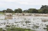 sabana inundable, Ganado criollo, sanmartinero, Romosinuano, Arauca, Casanare, Orinoquía, clima, tipo de suelo, reproducción, Ganadería, ganadería colombia, noticias ganaderas colombia, CONtexto ganadero